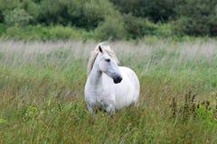 Caballo blanco y salvaje en el Brière Imagenes de archivo