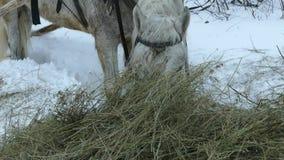 Caballo blanco y trineo en invierno cerca del bosque metrajes