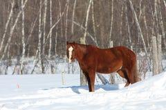 Caballo canadiense en campo nevoso Imagenes de archivo