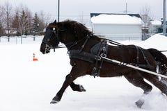 Caballo canadiense en competiton del invierno Imágenes de archivo libres de regalías