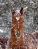 Caballo capón árabe de la castaña en tormenta de la nieve fotografía de archivo