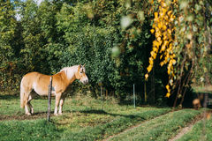 Caballo cercado que se coloca en un prado Fotografía de archivo libre de regalías