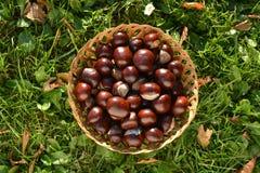 Caballo-chesnuts en cesta en hierba del otoño Fotos de archivo libres de regalías