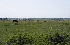 Caballo con las vacas que pastan en el pantano Imagen de archivo libre de regalías