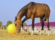Caballo con una melena dentada negra corta que juega en la arena en un prado grande con una bola amarilla Foto de archivo