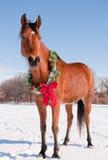 Caballo de Arabiabn de la bahía en nieve con una guirnalda de la Navidad Foto de archivo libre de regalías