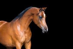 Caballo de bahía aislado en caballo negro, árabe Imagen de archivo libre de regalías