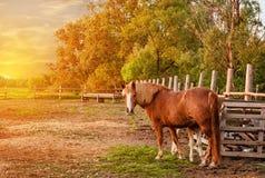 Caballo de bahía con el potro que se coloca en la cerca cerca de los árboles en la puesta del sol en la granja El marco horizonta fotos de archivo libres de regalías