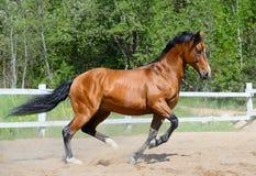 Caballo de bahía de la raza ucraniana del montar a caballo Fotografía de archivo libre de regalías