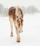 Caballo de bosquejo belga que recorre en tempestad de nieve pesada Fotos de archivo