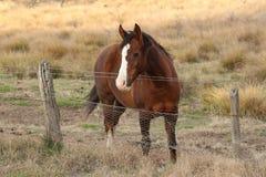 Caballo de Brown cerca de la cerca Tharwa, ACTO Imagenes de archivo