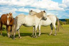Caballo de Brown con los caballos blancos Imagenes de archivo