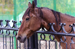Caballo de Brown detrás de la cerca Fotografía de archivo