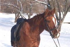 Caballo de Brown en parque del invierno Foto de archivo
