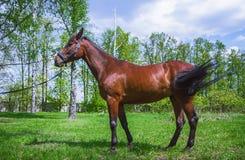 Caballo de Brown en un prado en el día de verano Imagenes de archivo
