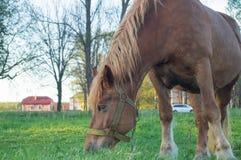 Caballo de Brown que come la hierba en el campo Fotografía de archivo libre de regalías