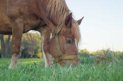 Caballo de Brown que come la hierba en el campo Imagenes de archivo