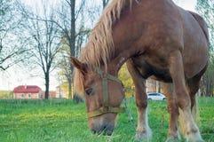 Caballo de Brown que come la hierba en el campo Imagen de archivo