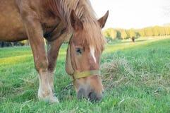 Caballo de Brown que come la hierba en el campo Foto de archivo libre de regalías