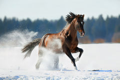 Caballo de Brown que galopa en invierno Fotografía de archivo libre de regalías