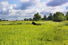 Caballo de Brown que miente en campo verde Fotografía de archivo