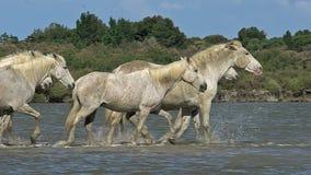 Caballo de Camargue, manada que camina a través del pantano, Saintes Marie de la Mer en el sur de Francia, metrajes