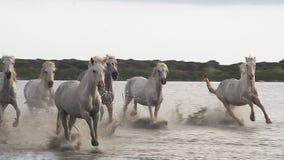 Caballo de Camargue, manada que galopa a través del pantano, Saintes Marie de la Mer en el sur de Francia, metrajes