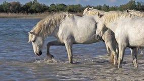 Caballo de Camargue, manada que se coloca en el pantano, Saintes Marie de la Mer en el sur de Francia, metrajes