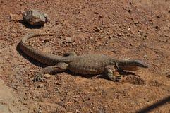 Caballo de carreras australiano Goanna Bungarra o lagarto Imágenes de archivo libres de regalías