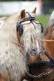 Caballo de Haflinger Imagen de archivo libre de regalías