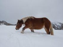 Caballo de Haflinger que camina penosamente a través de nieve profunda Fotos de archivo libres de regalías