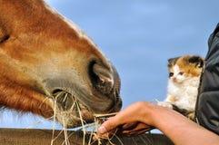 Caballo de la alimentación del granjero y del gatito Foto de archivo