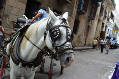 Caballo de La Habana Imagen de archivo