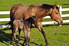 Caballo de la madre y del bebé Fotos de archivo libres de regalías
