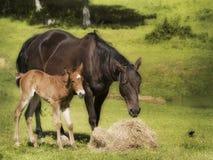 Caballo de la madre y del bebé en pasto Imágenes de archivo libres de regalías
