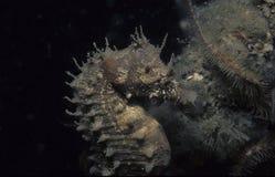 Caballo de mar foto de archivo libre de regalías