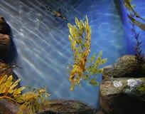Caballo de mar Imagen de archivo libre de regalías