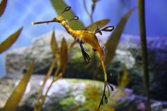 Caballo de mar de la alga marina Fotos de archivo libres de regalías