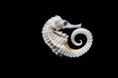 Caballo de mar seco Imágenes de archivo libres de regalías