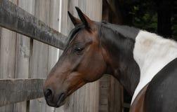 Caballo de montar a caballo Foto de archivo libre de regalías