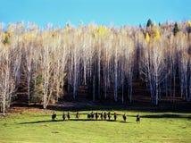 Caballo de montar a caballo chino del pople en árboles de abedul blanco Fotos de archivo libres de regalías
