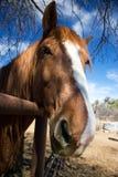 Caballo de montar a caballo de Arizona Imagenes de archivo