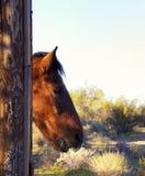 Caballo de montar a caballo que mira hacia fuera la ventana del granero Fotos de archivo
