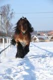 Caballo de proyecto holandés con la melena larga que corre en nieve Fotos de archivo