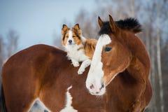 Caballo de proyecto y perro rojo del border collie Fotos de archivo