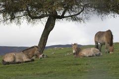 Caballo de Przewalski, przewalskii del ferus del Equus, retratos Fotografía de archivo