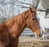 Caballo de Saddlebred del americano imagen de archivo
