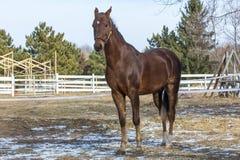 Caballo de Saddlebred del americano foto de archivo libre de regalías