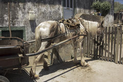 Caballo de trabajo en las Azores Fotos de archivo