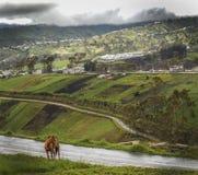 Caballo del Ecuador. Horse overlooking the Ecuador Countryside stock image